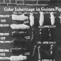 Board showing color inheritance in guinea pigs.