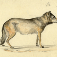 "Wolf (female)...""Near 3 years old, Indiana"""